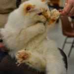 Quelques images de l'Exposition annuelle du chat qui se tient tout ce week-end au Parc des Expositions d'Orléans. 9