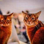 Quelques images de l'Exposition annuelle du chat qui se tient tout ce week-end au Parc des Expositions d'Orléans. 7