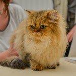 Quelques images de l'Exposition annuelle du chat qui se tient tout ce week-end au Parc des Expositions d'Orléans. 8