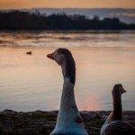 Des oies peuplant les berges de notre Loire en ville 1