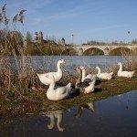 Ma photo du jour : Orléans, la paradis des oies 1