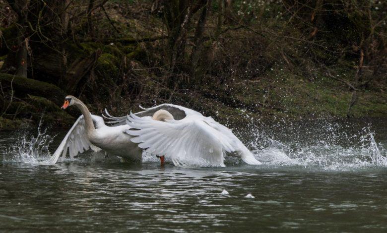 Photos du jour : prélude aux amours , combats de cygnes sur la Loire 1
