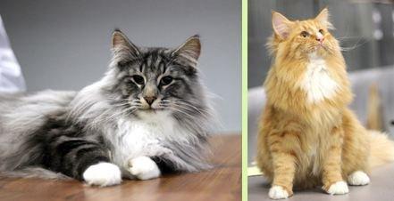 chat norvégiens