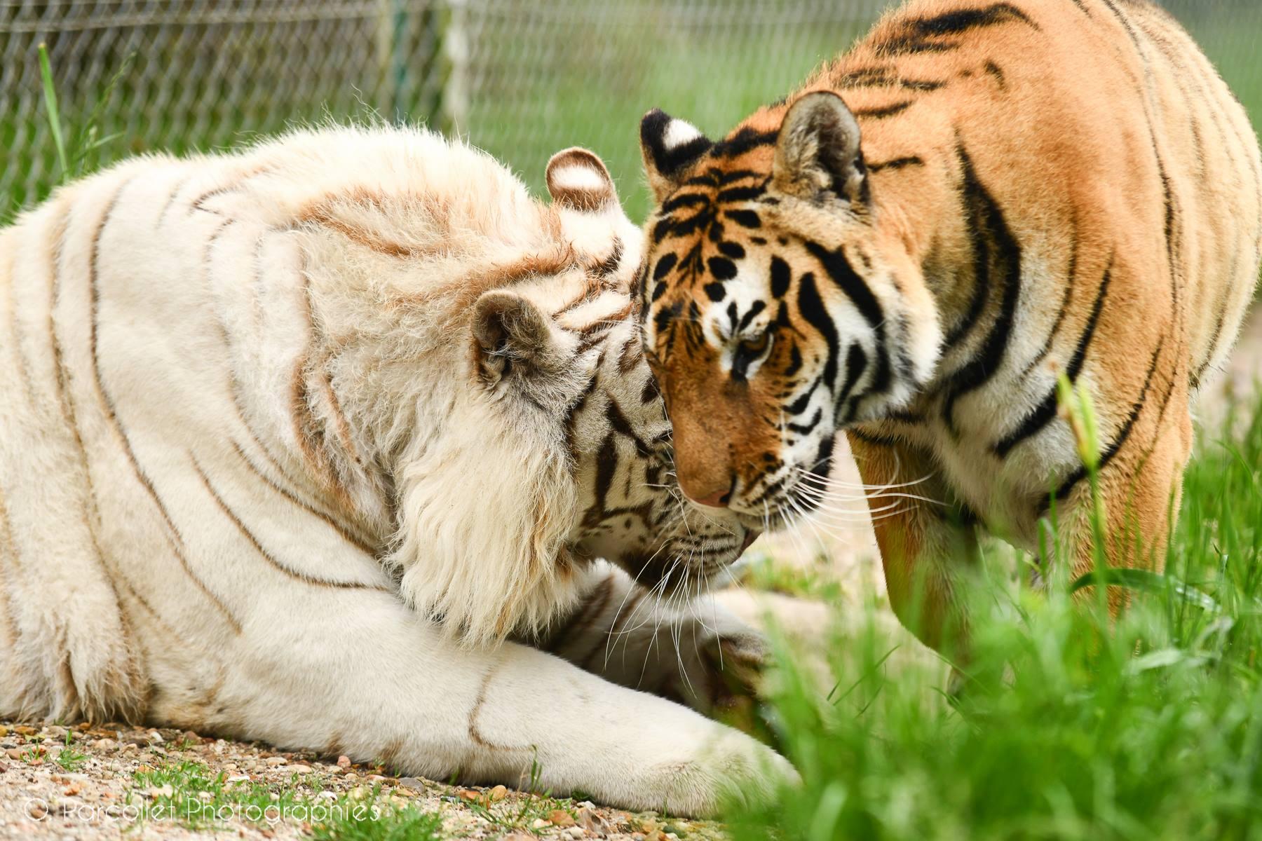 On a rencontré Rémy Demantes et ses tigres 9