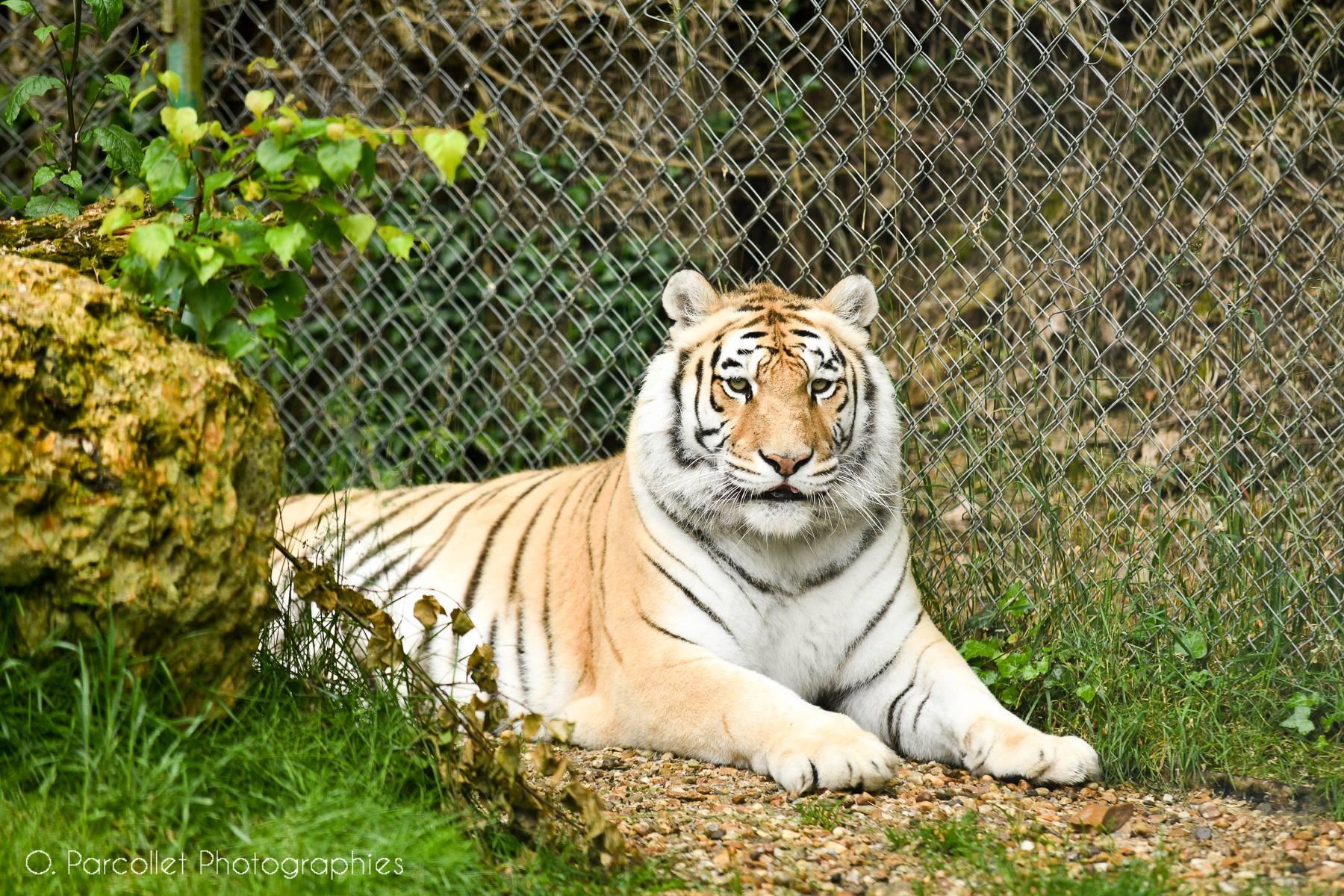 On a rencontré Rémy Demantes et ses tigres 3