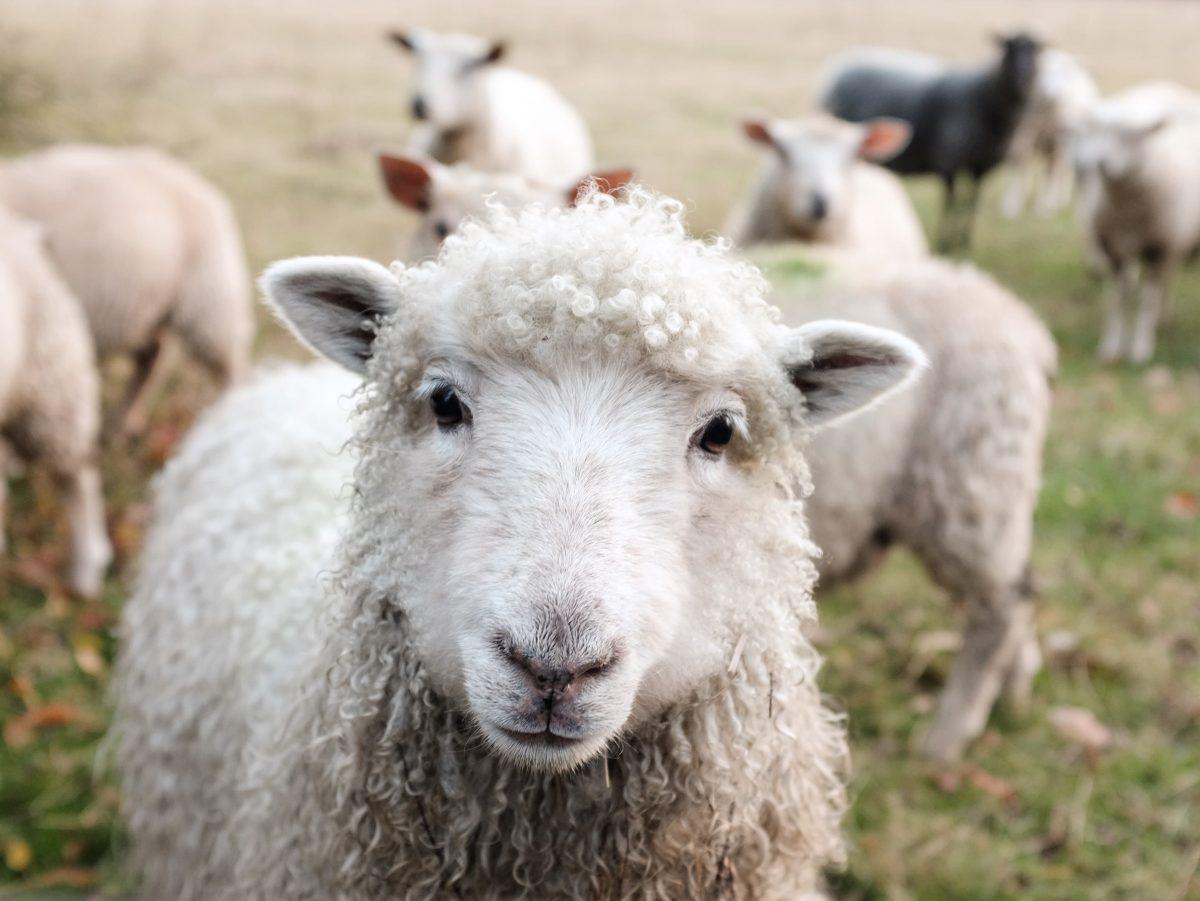 Des moutons et des chèvres, avenue des Droits de l'Homme. 6