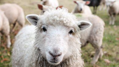 Photo of Des moutons et des chèvres, avenue des Droits de l'Homme.